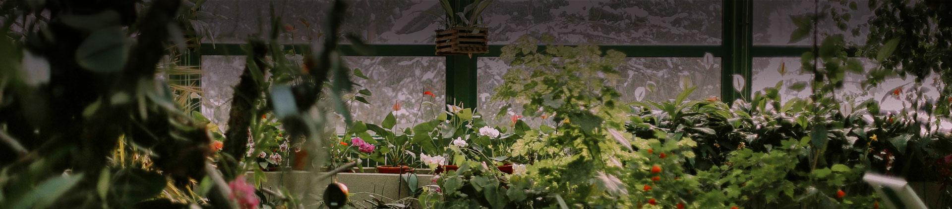 EUCALIPTO Plantas Decorativas